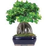 Pianta bonsai ginseng PW15